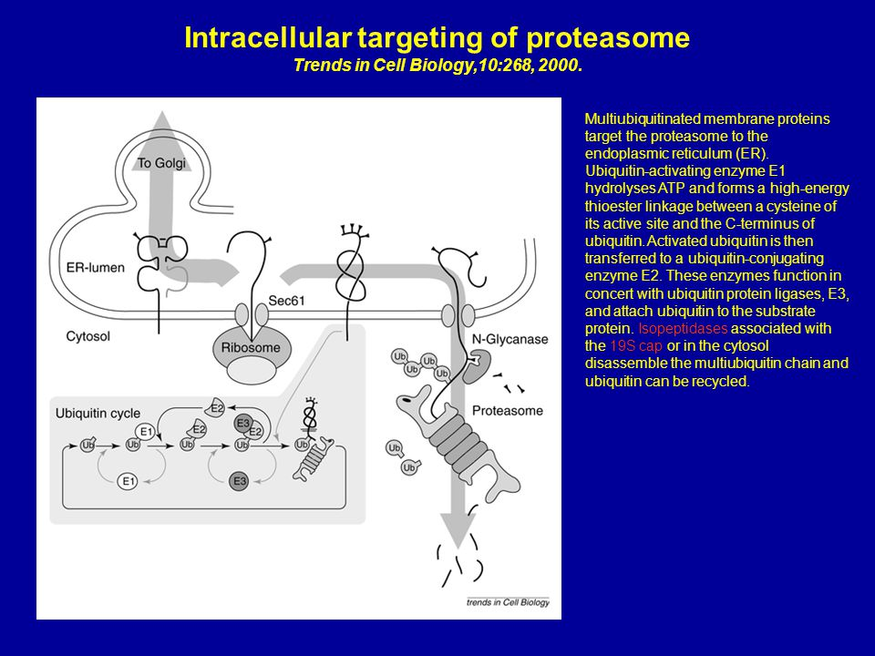 Intracellular targeting of proteasome