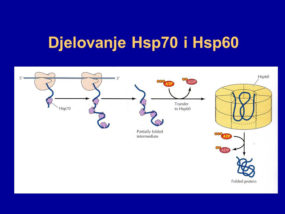 Djelovanje Hsp70 i Hsp60