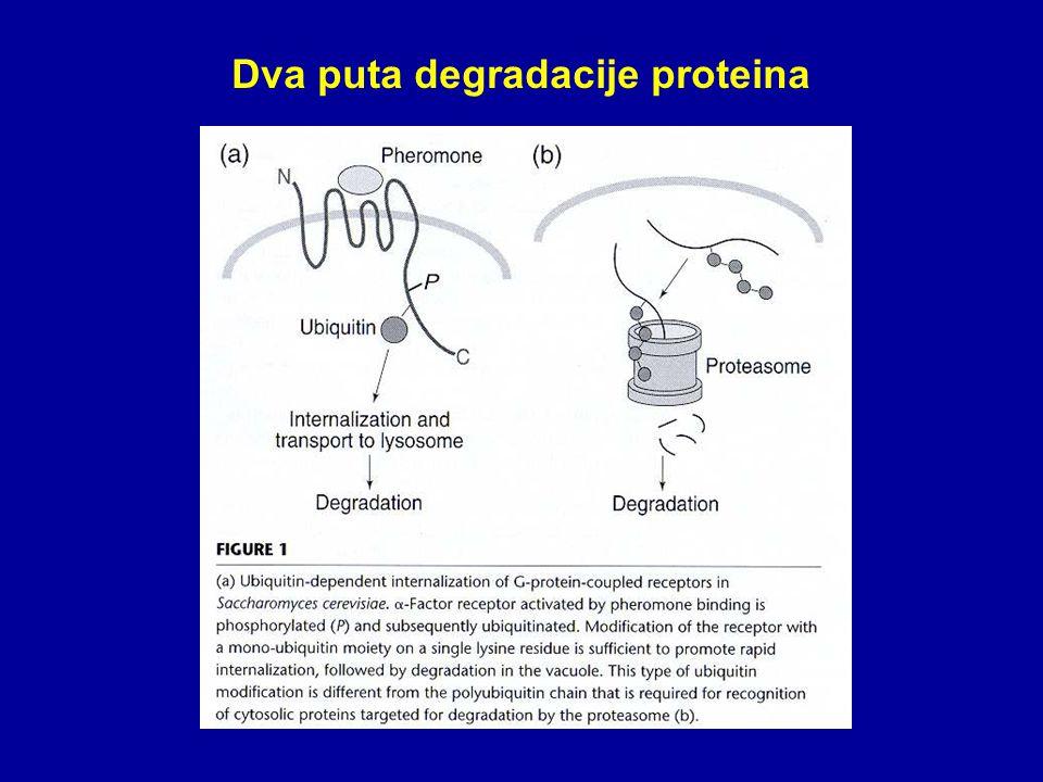 Dva puta degradacije proteina