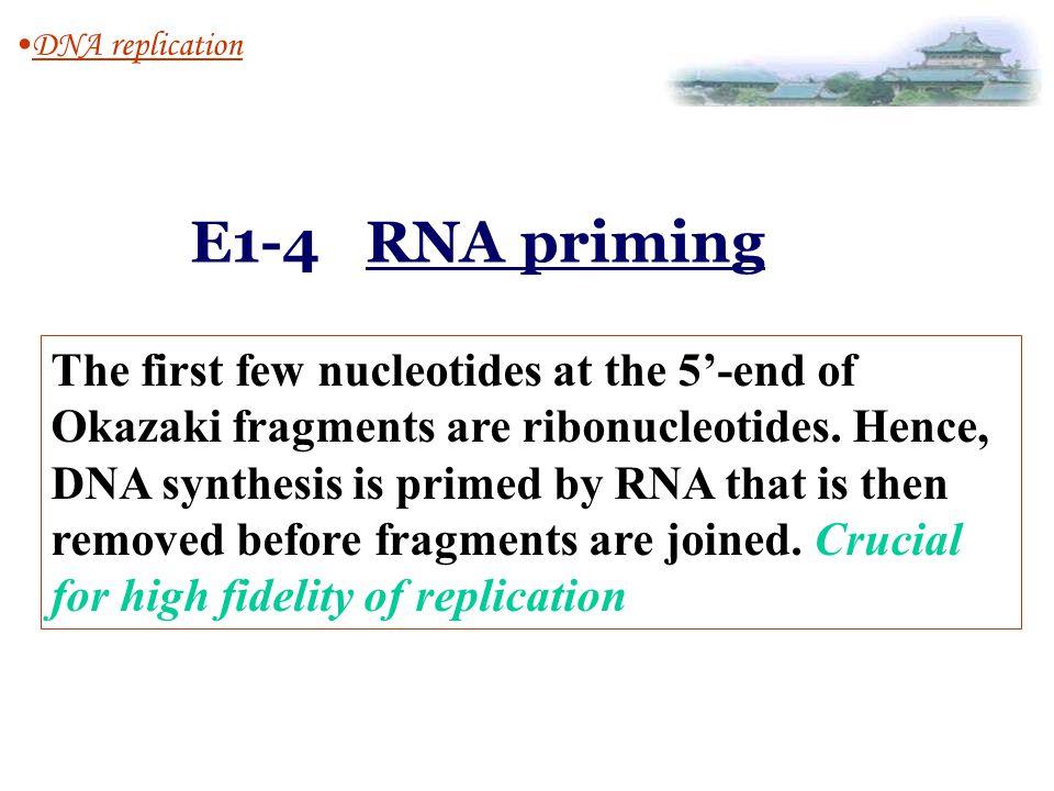 DNA replication E1-4 RNA priming.