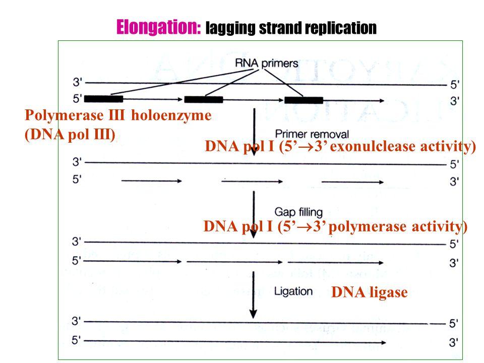 Elongation: lagging strand replication