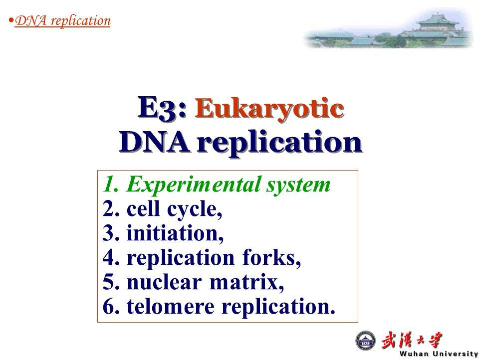 E3: Eukaryotic DNA replication