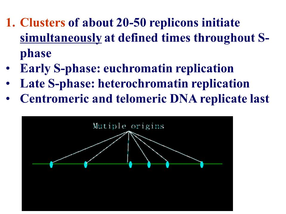 Clusters of about 20-50 replicons initiate simultaneously at defined times throughout S-phase
