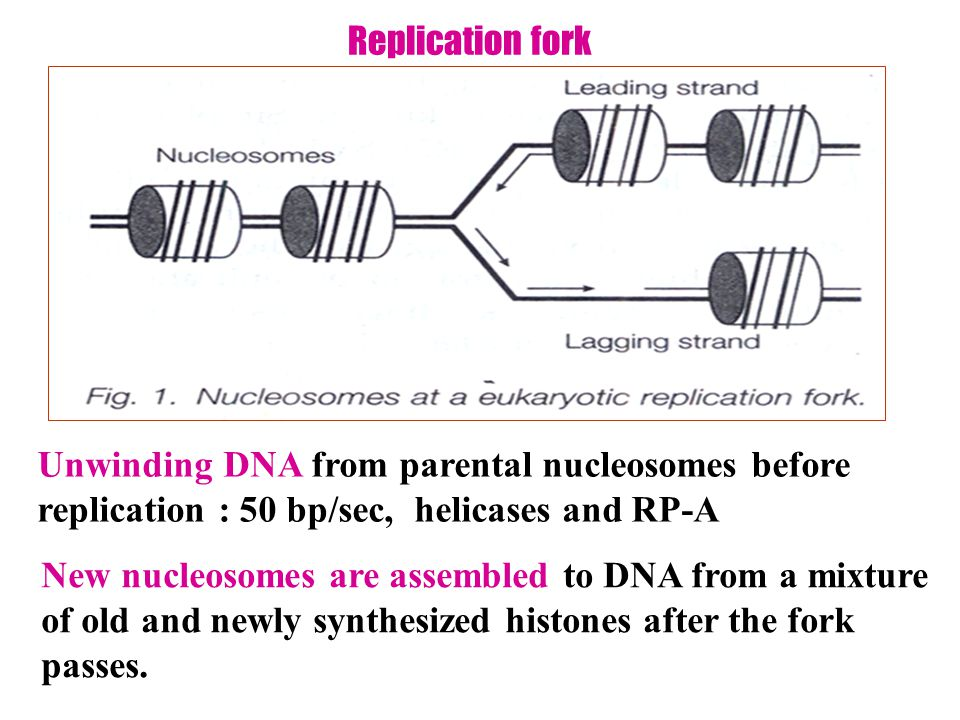 Replication fork Unwinding DNA from parental nucleosomes before replication : 50 bp/sec, helicases and RP-A.