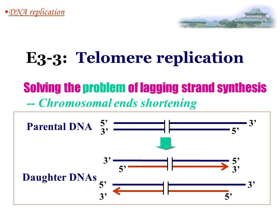 E3-3: Telomere replication