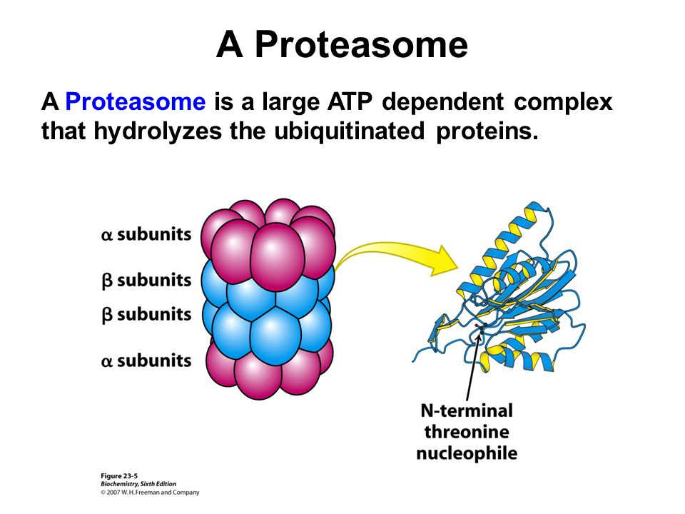 A Proteasome A Proteasome is a large ATP dependent complex that hydrolyzes the ubiquitinated proteins.