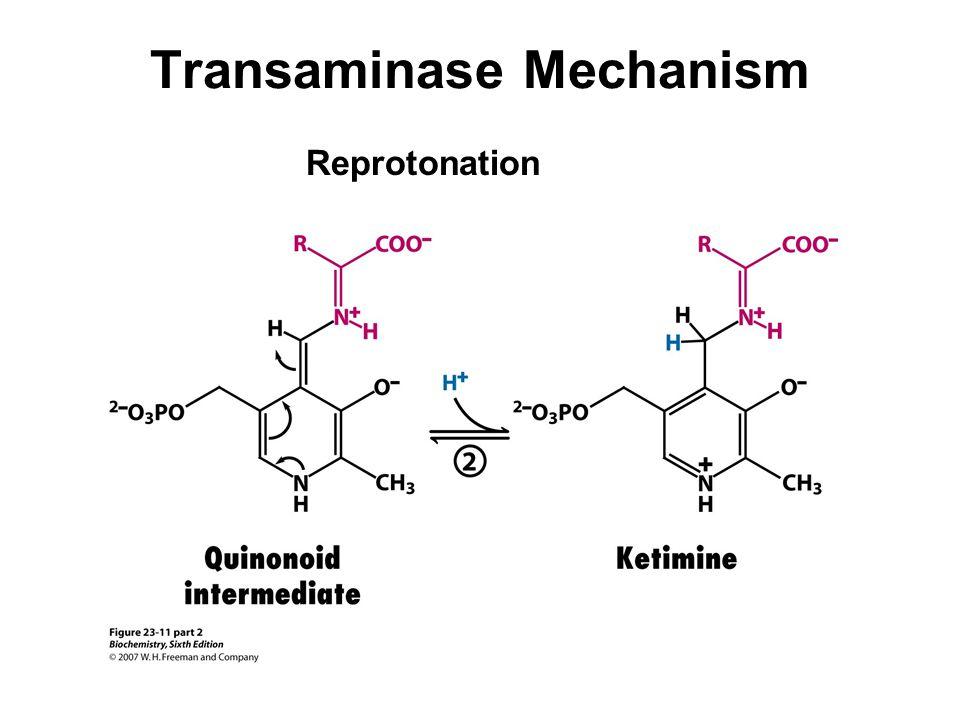 Transaminase Mechanism