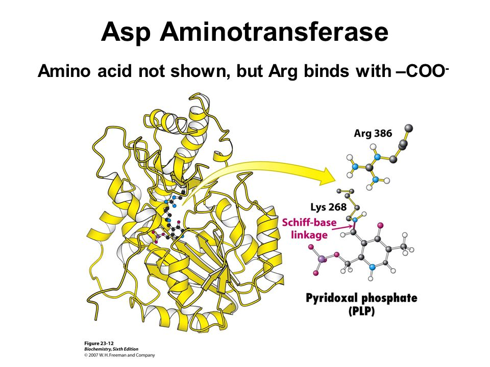 Asp Aminotransferase Amino acid not shown, but Arg binds with –COO-