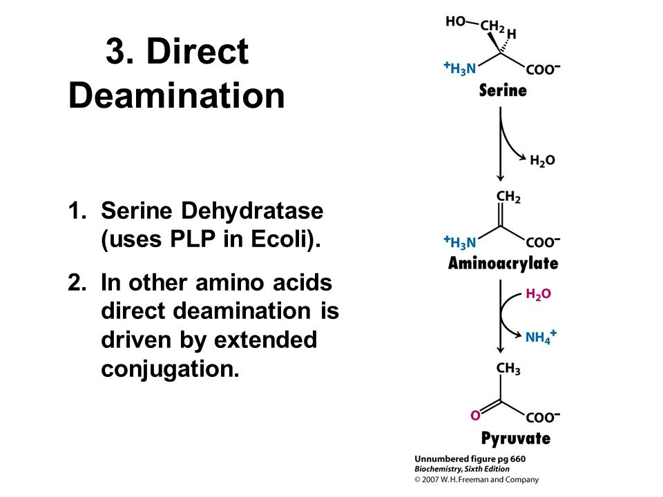 3. Direct Deamination Serine Dehydratase (uses PLP in Ecoli).