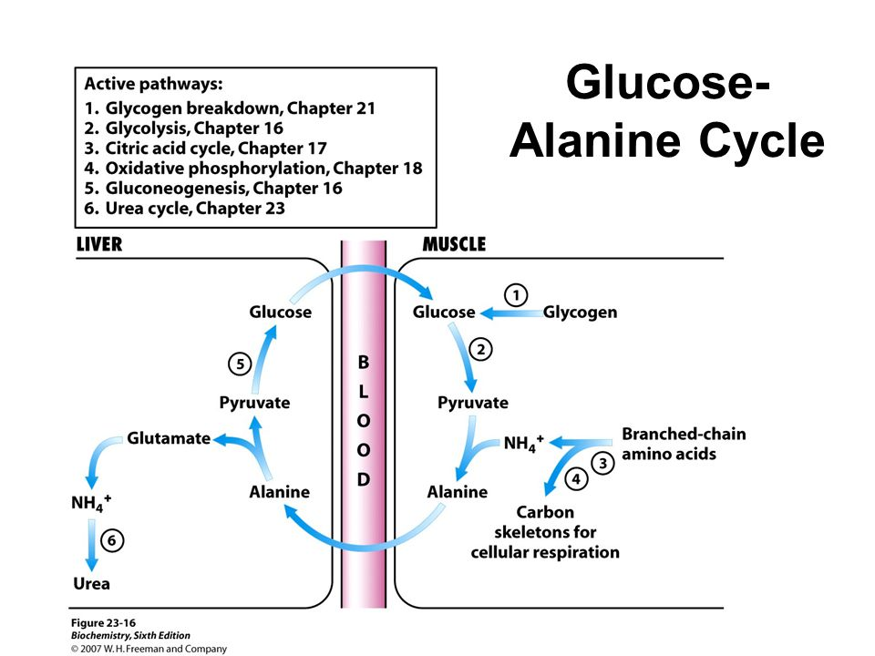 Glucose-Alanine Cycle