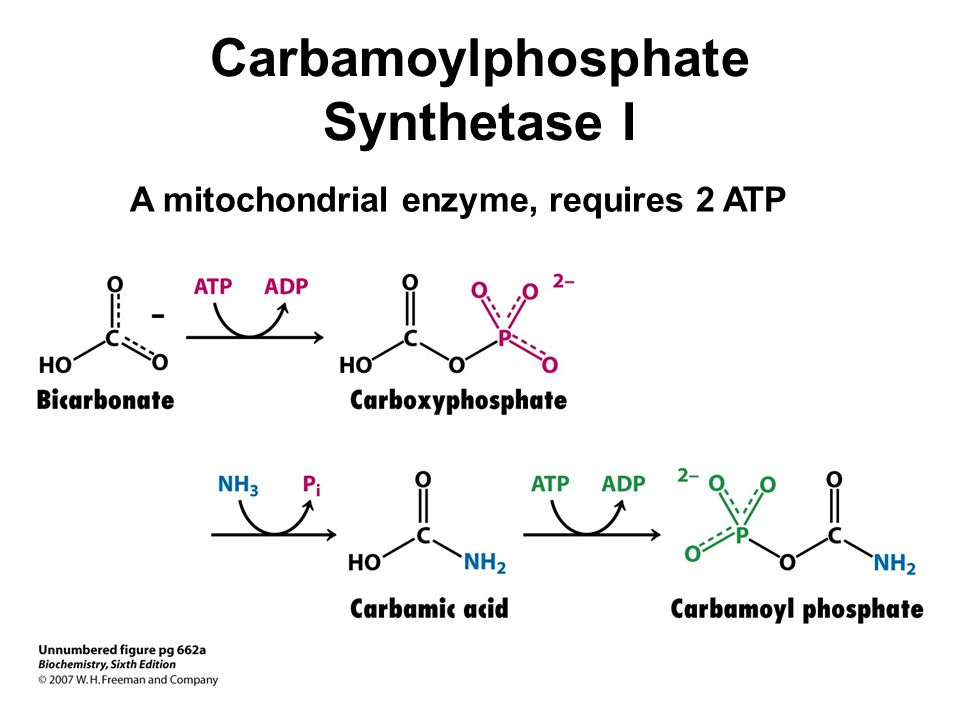 Carbamoylphosphate Synthetase I