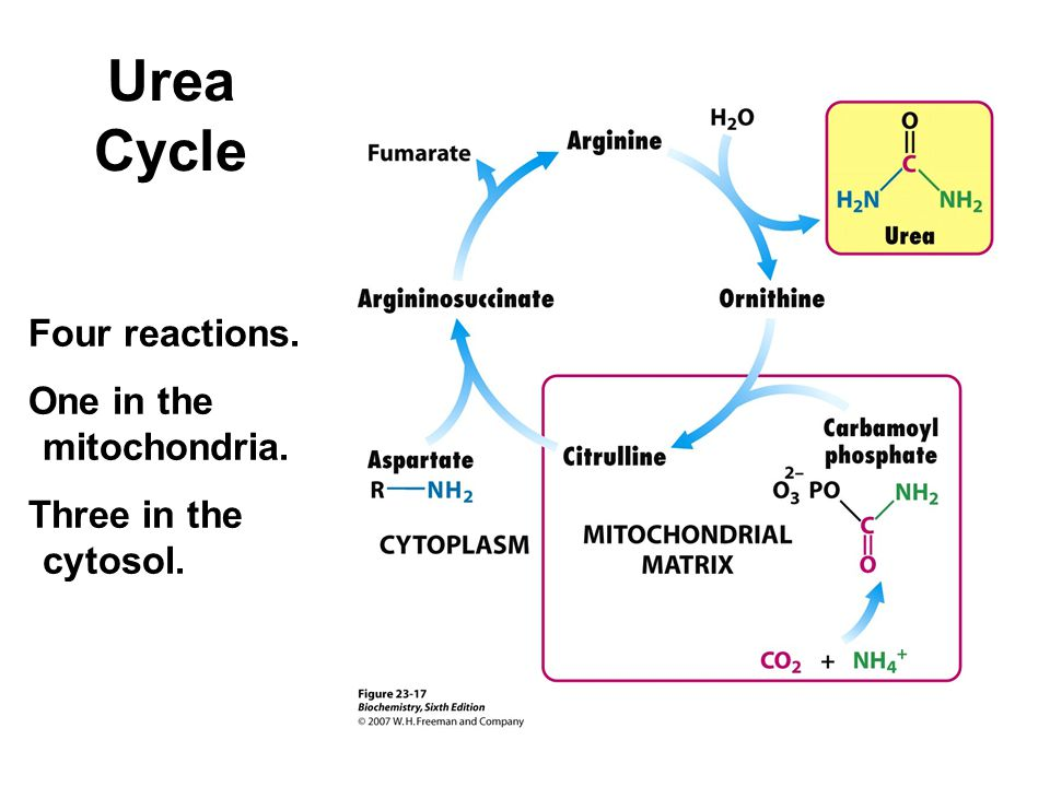 Urea Cycle Four reactions. One in the mitochondria.