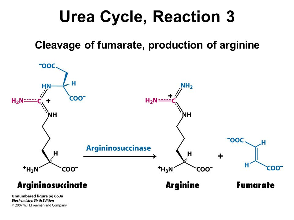 Urea Cycle, Reaction 3 Cleavage of fumarate, production of arginine