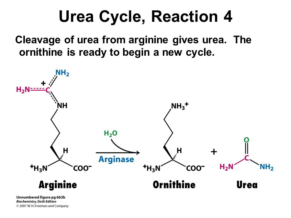 Urea Cycle, Reaction 4 Cleavage of urea from arginine gives urea.
