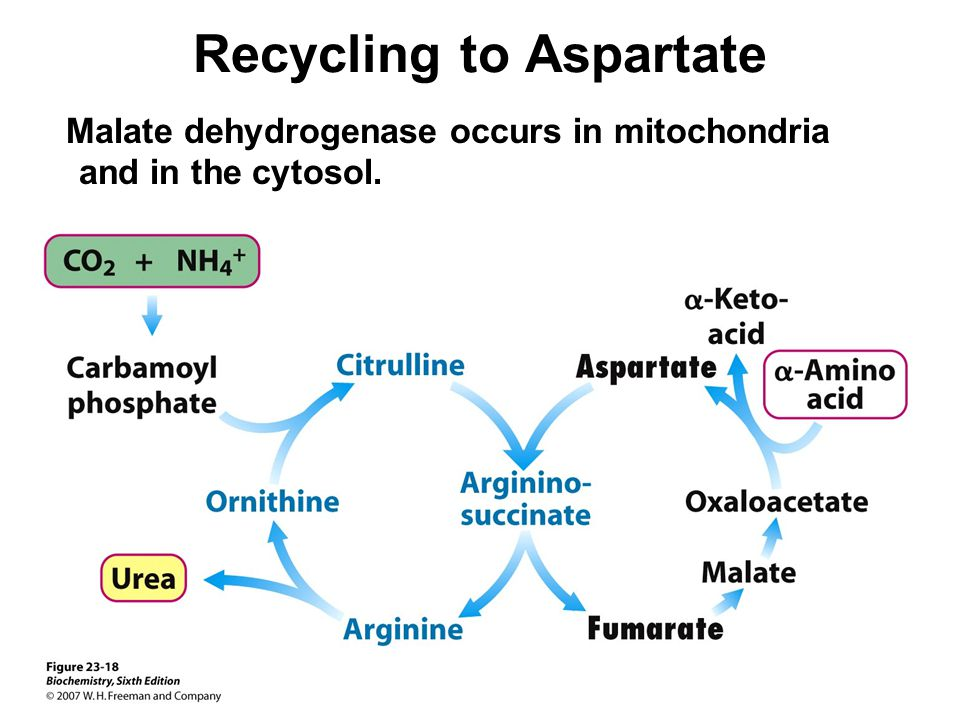Recycling to Aspartate