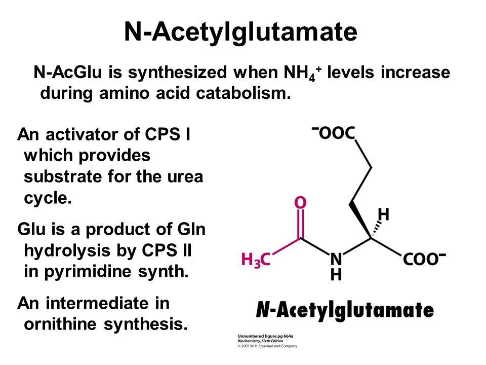N-Acetylglutamate N-AcGlu is synthesized when NH4+ levels increase during amino acid catabolism.