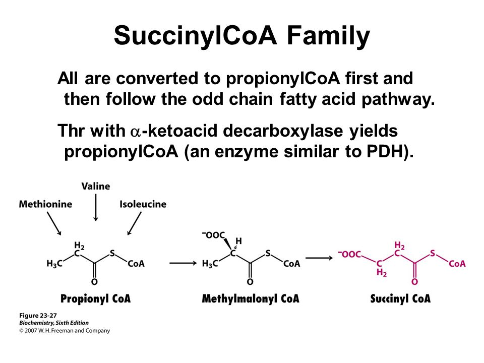 SuccinylCoA Family All are converted to propionylCoA first and then follow the odd chain fatty acid pathway.