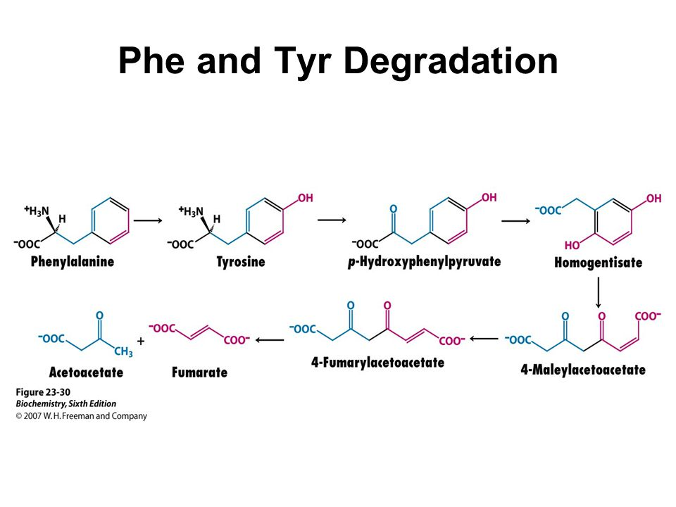 Phe and Tyr Degradation