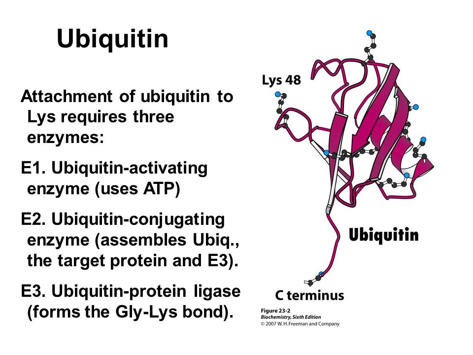 Ubiquitin Attachment of ubiquitin to Lys requires three enzymes:
