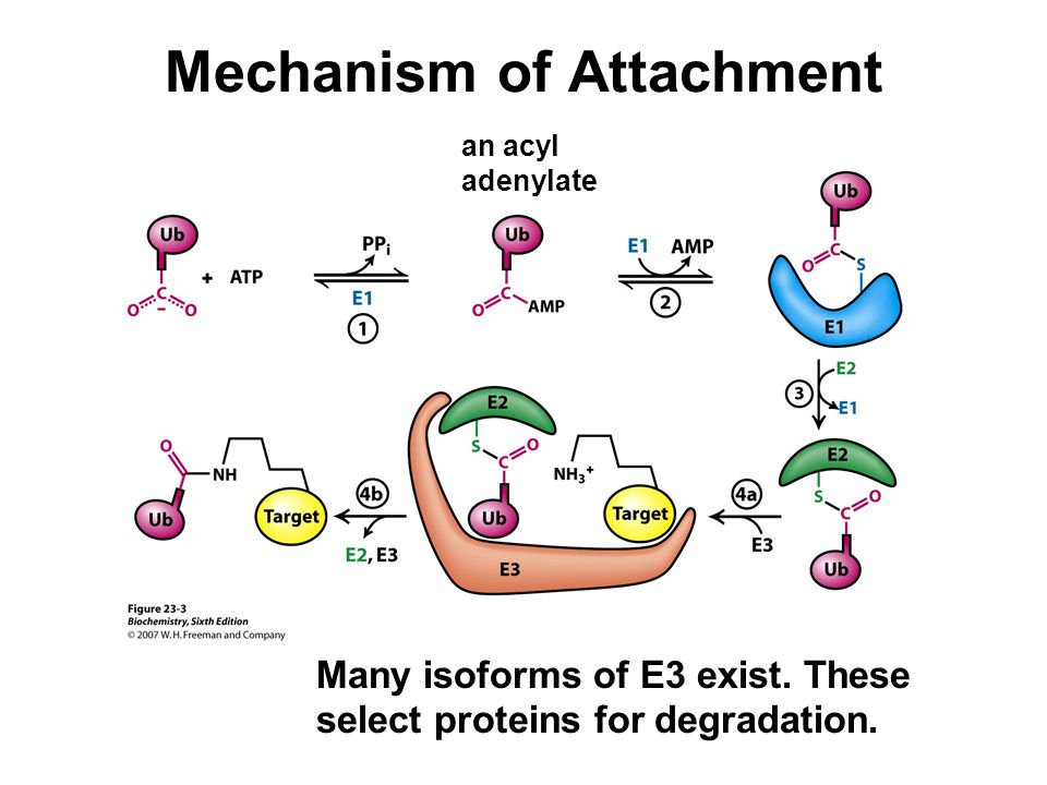 Mechanism of Attachment