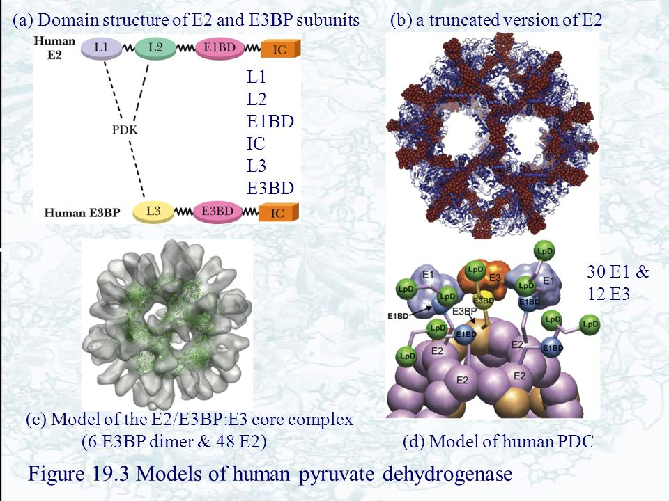 Figure 19.3 Models of human pyruvate dehydrogenase