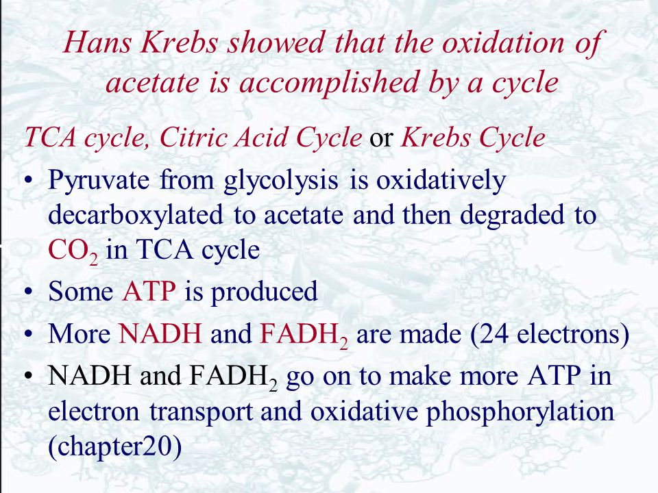 Hans Krebs showed that the oxidation of acetate is accomplished by a cycle