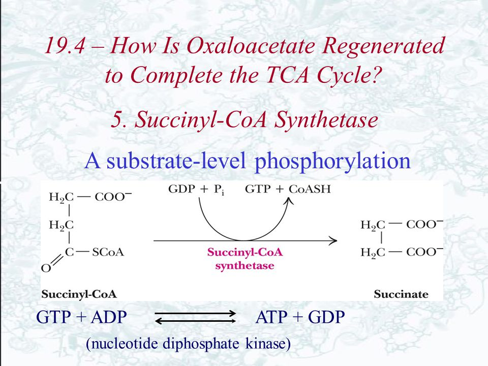 19.4 – How Is Oxaloacetate Regenerated to Complete the TCA Cycle