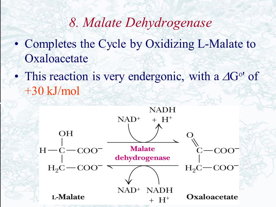 8. Malate Dehydrogenase Completes the Cycle by Oxidizing L-Malate to Oxaloacetate.