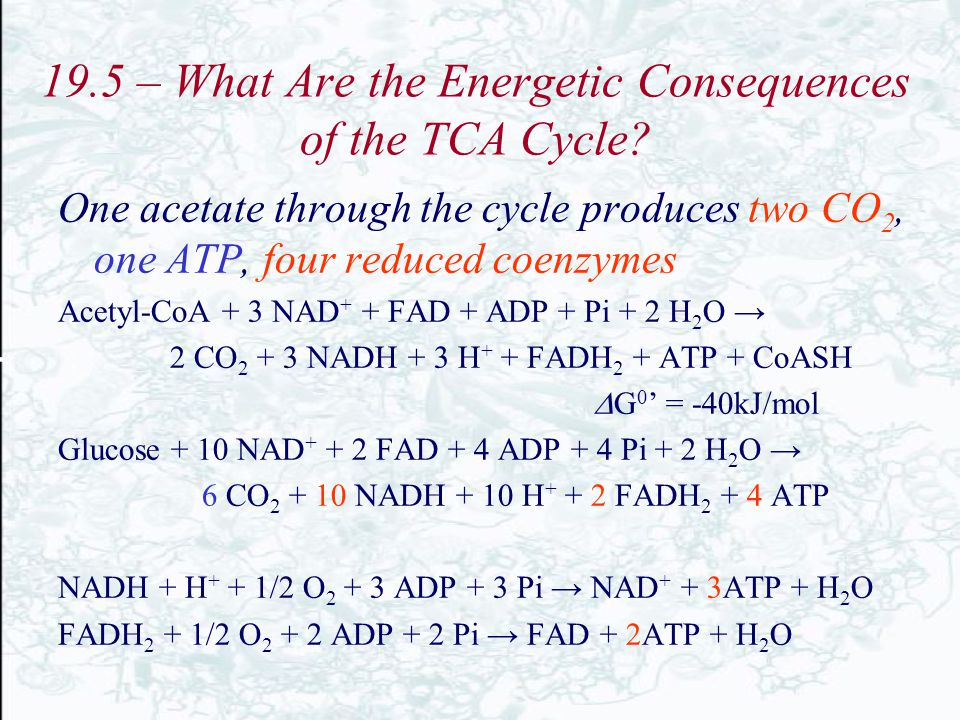 19.5 – What Are the Energetic Consequences of the TCA Cycle