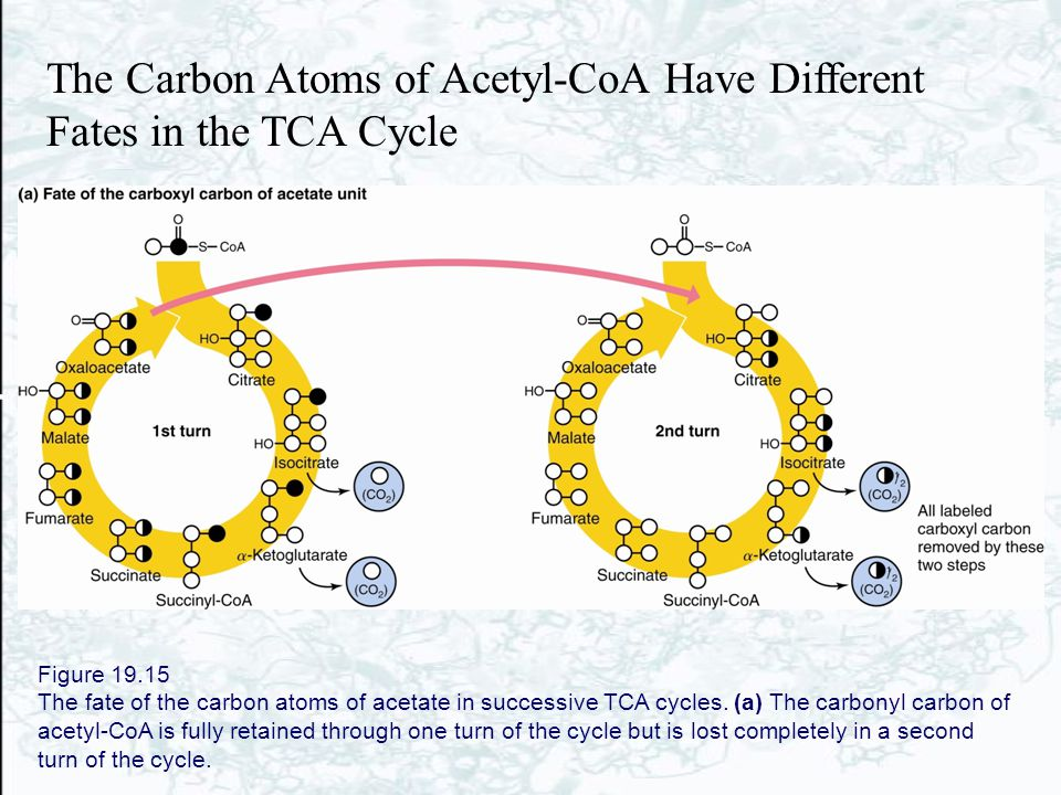 The Carbon Atoms of Acetyl-CoA Have Different Fates in the TCA Cycle