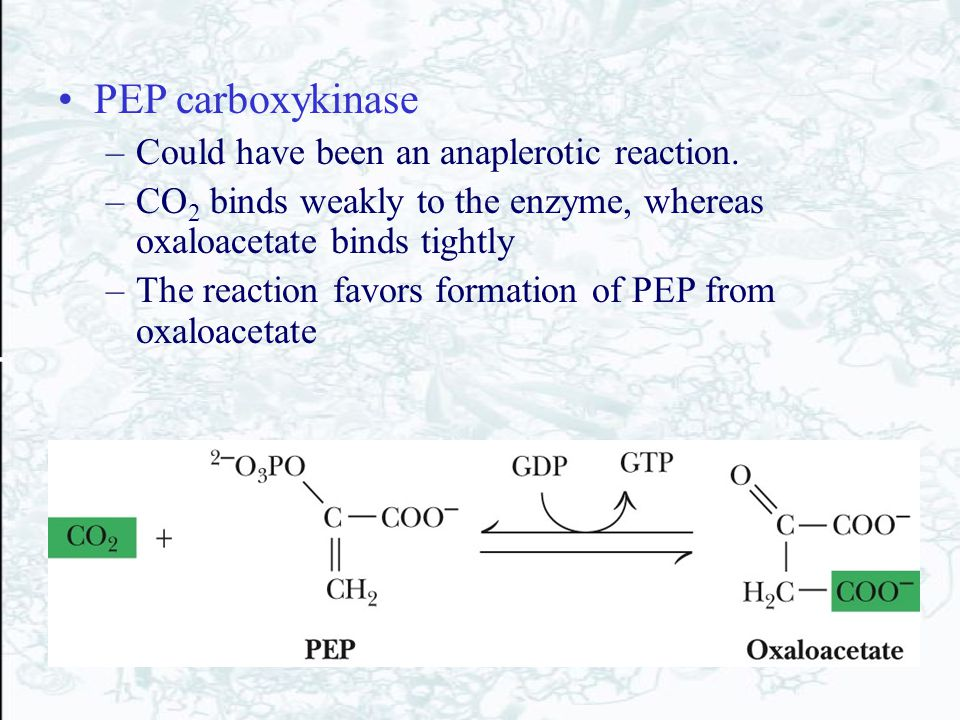 PEP carboxykinase Could have been an anaplerotic reaction.