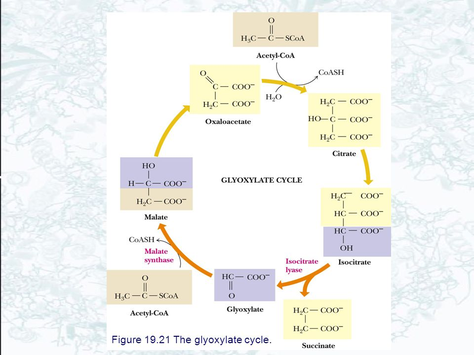 Figure 19.21 The glyoxylate cycle.