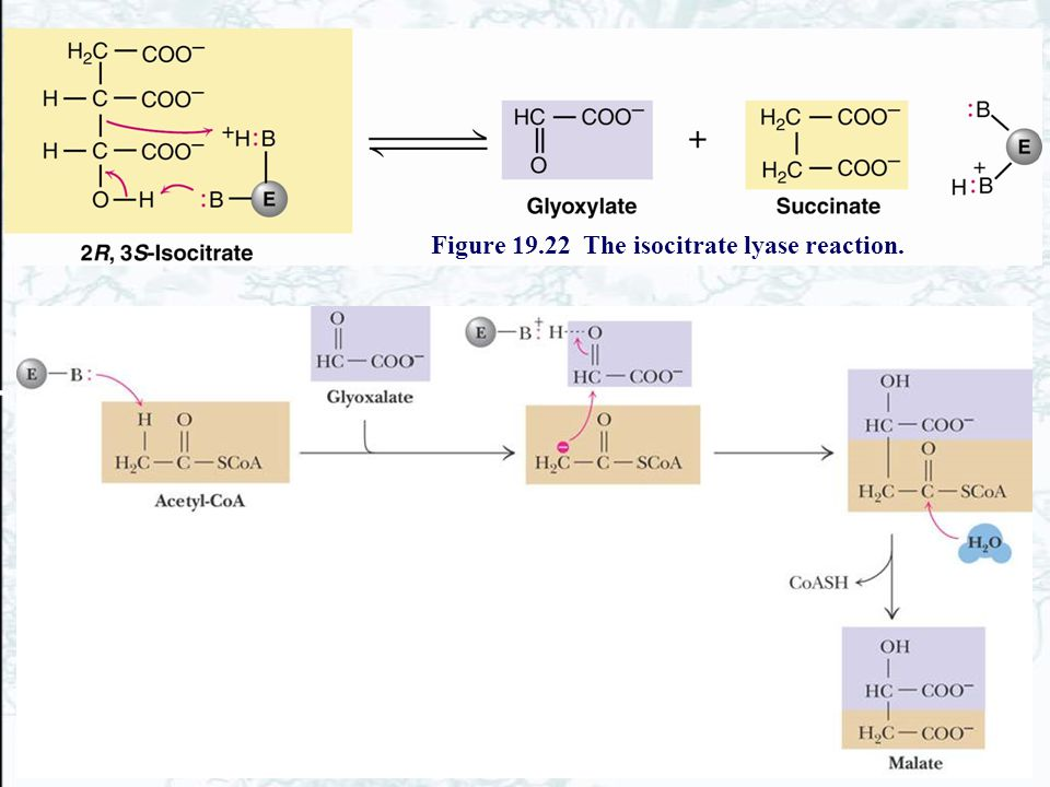Figure 19.22 The isocitrate lyase reaction.
