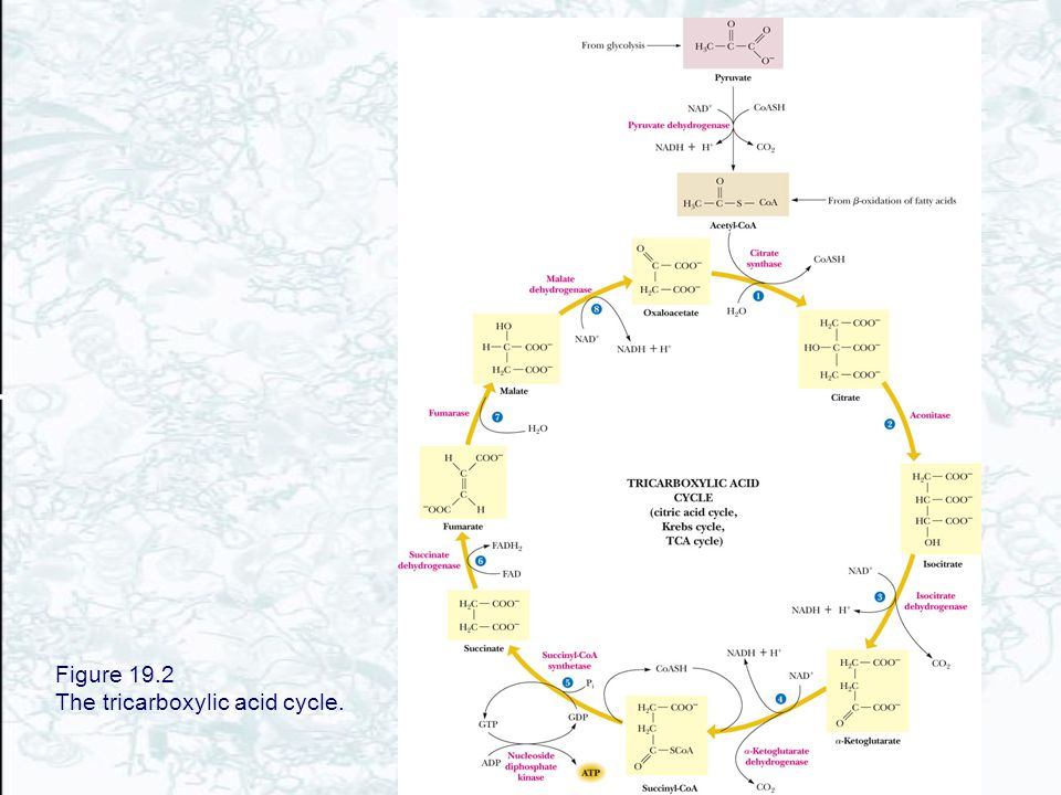 Figure 19.2 The tricarboxylic acid cycle.