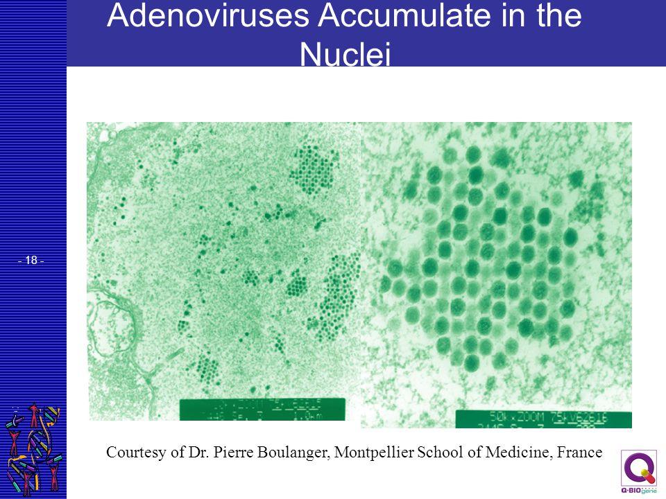 Adenoviruses Accumulate in the Nuclei