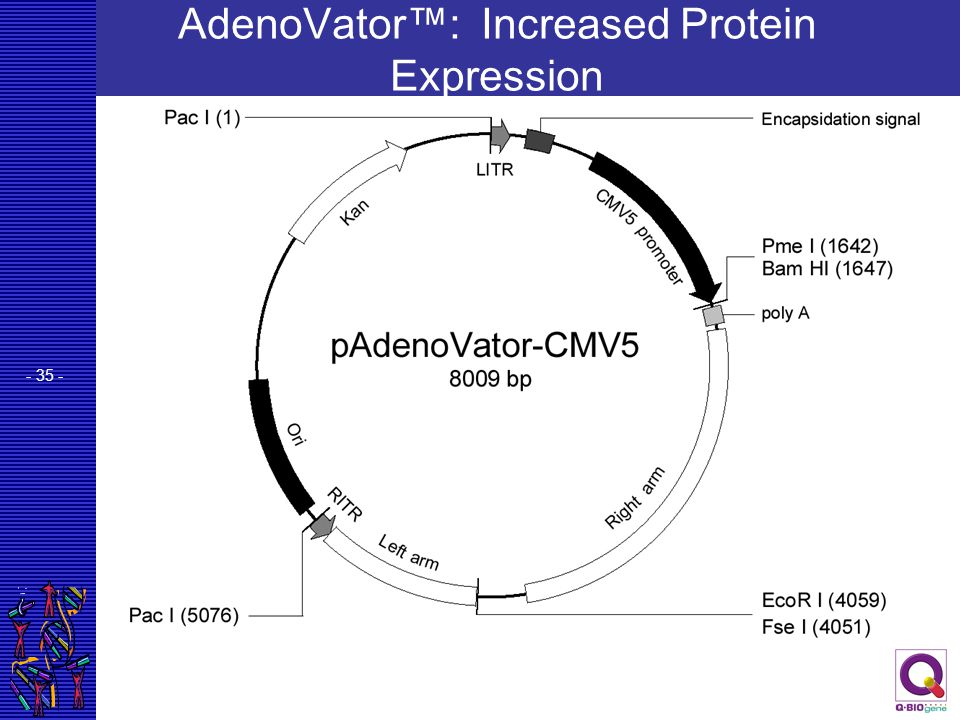 AdenoVator™: Increased Protein Expression