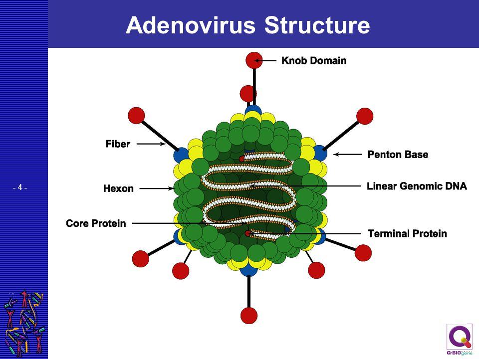 Adenovirus Structure