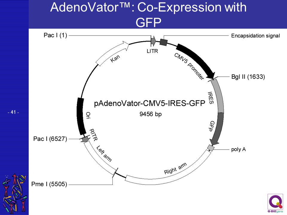 AdenoVator™: Co-Expression with GFP