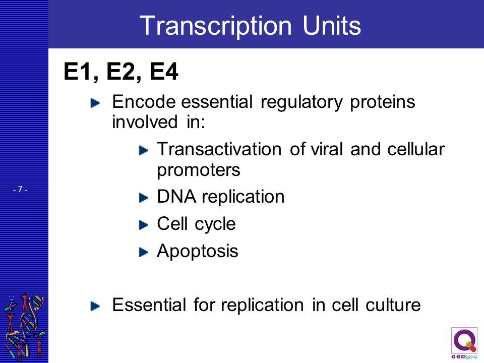 Transcription Units E1, E2, E4