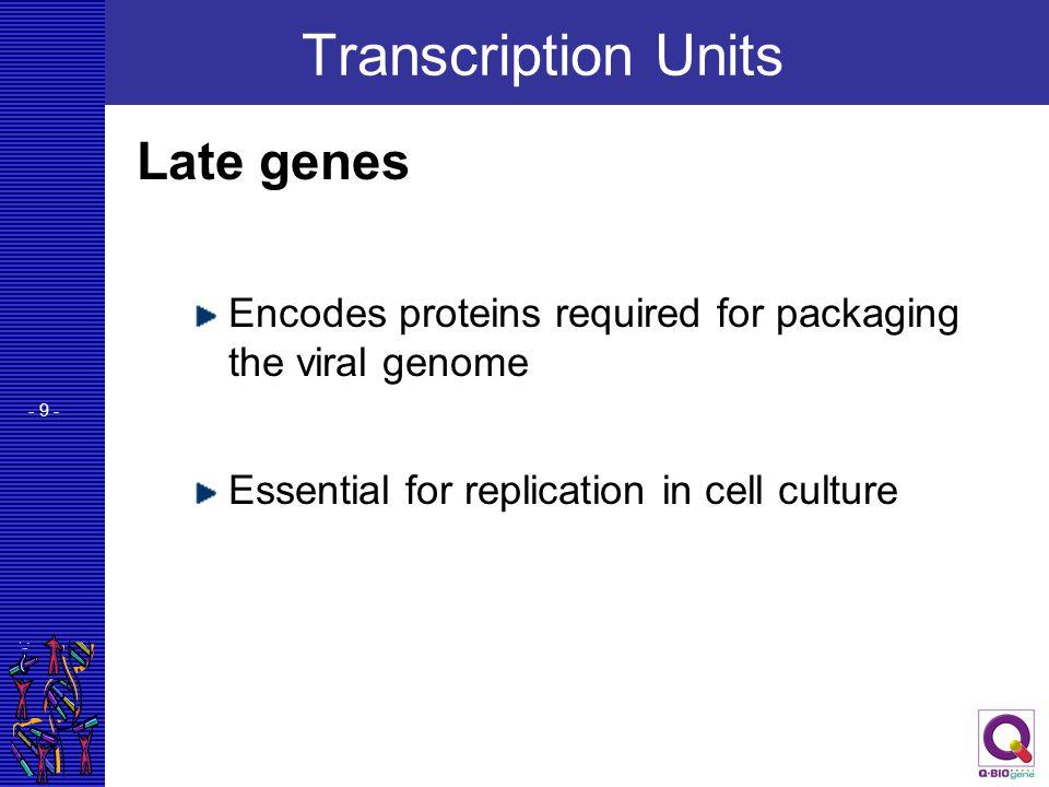 Transcription Units Late genes