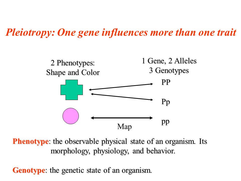 Pleiotropy: One gene influences more than one trait