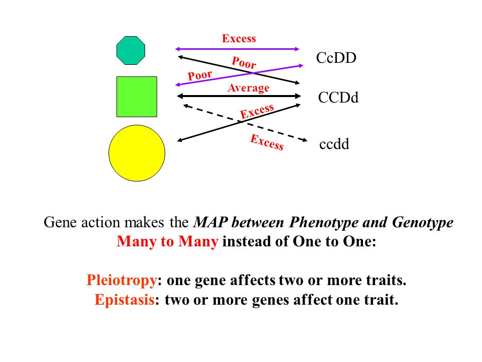 Gene action makes the MAP between Phenotype and Genotype
