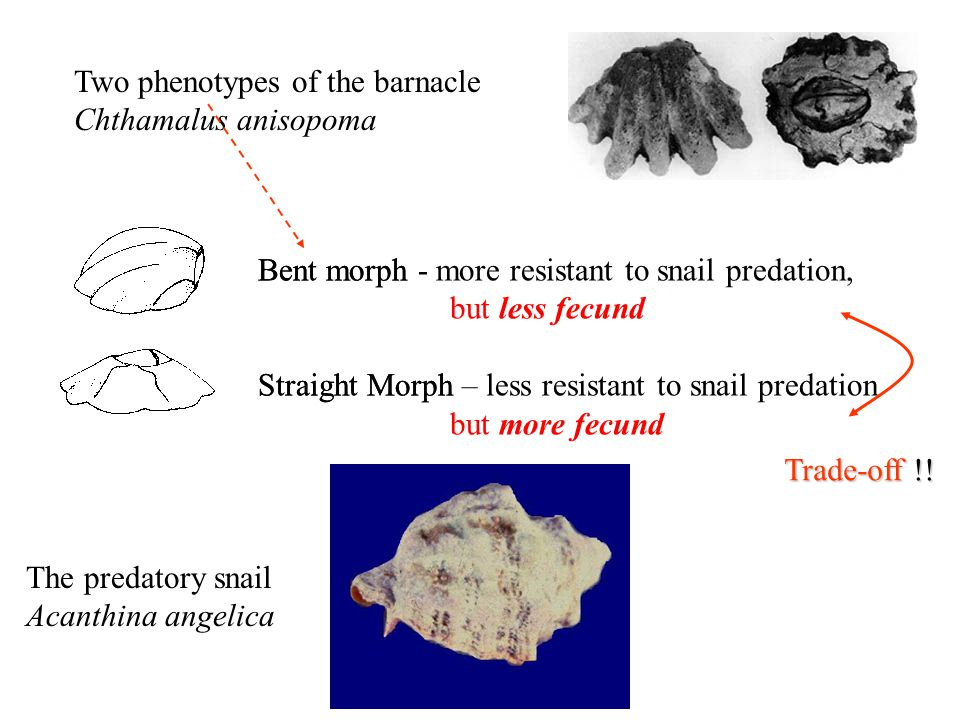Two phenotypes of the barnacle