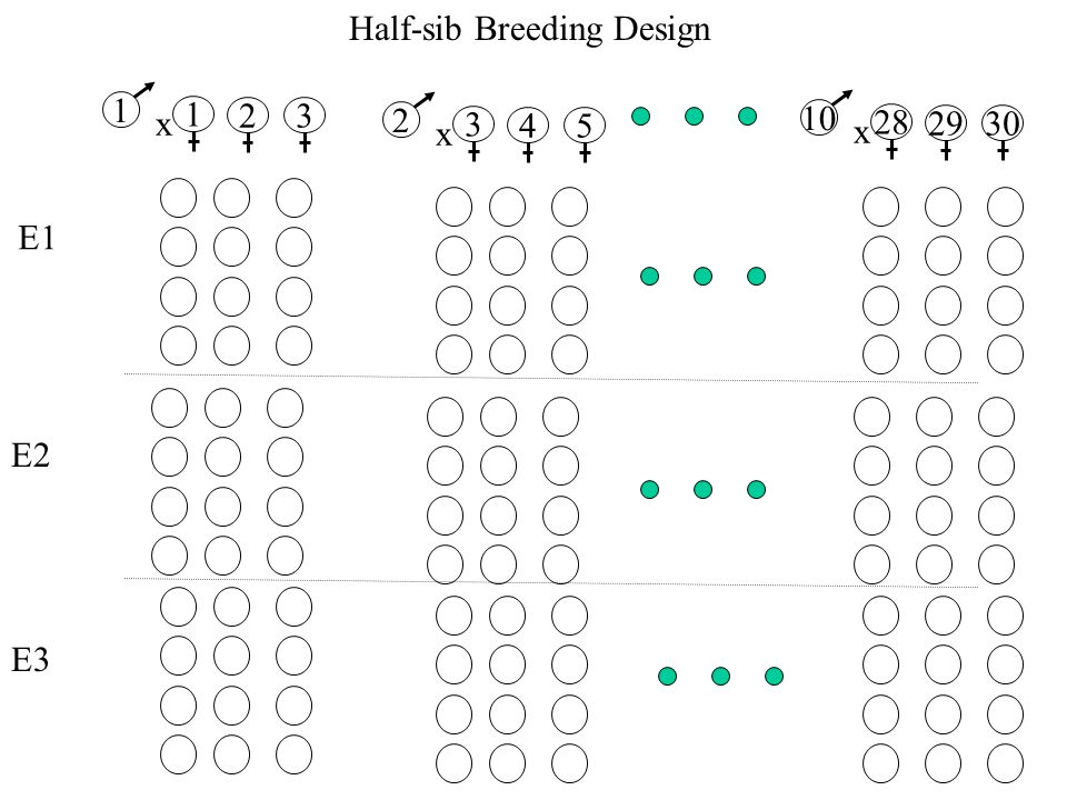 Half-sib Breeding Design