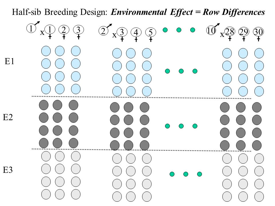 Half-sib Breeding Design: Environmental Effect = Row Differences