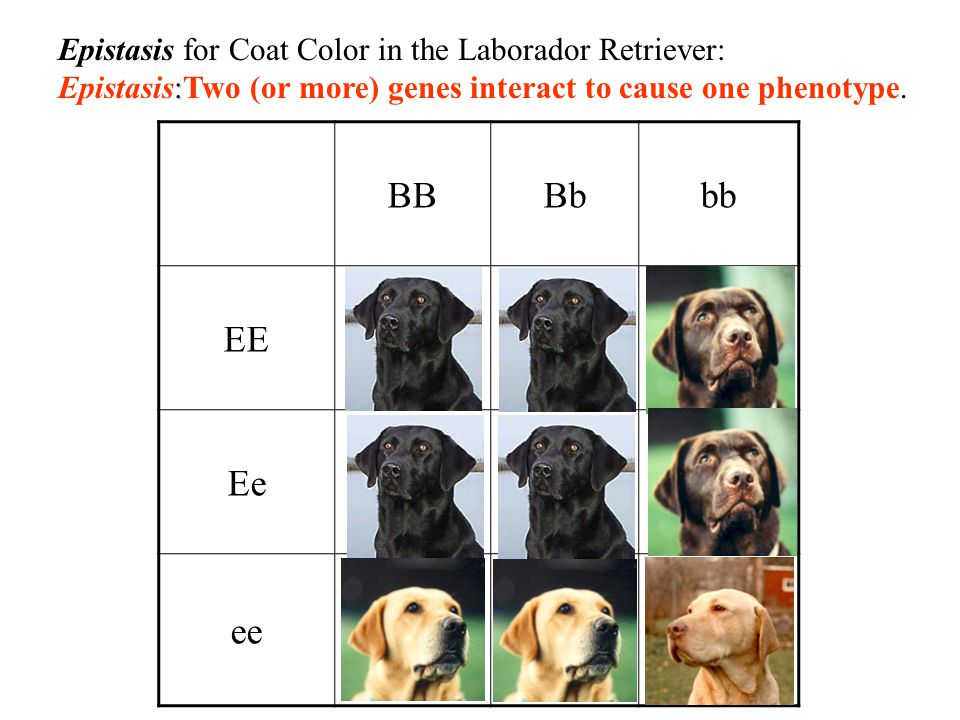 BB Bb bb EE Ee ee Epistasis for Coat Color in the Laborador Retriever: