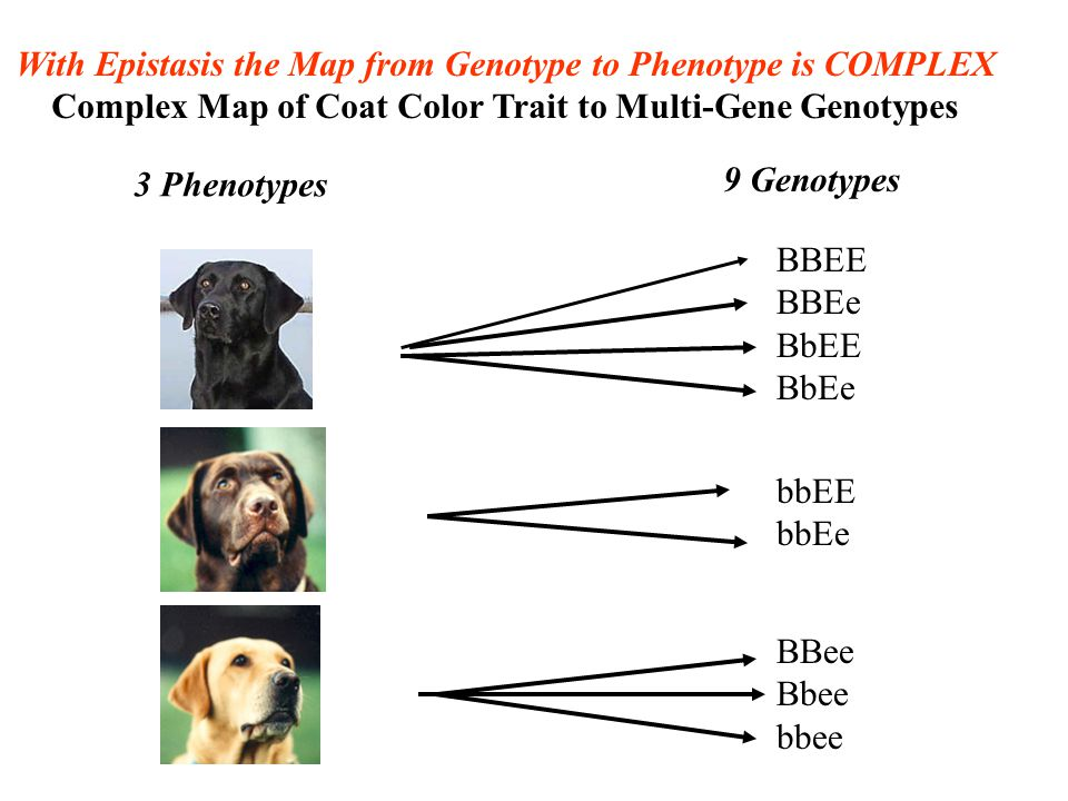 With Epistasis the Map from Genotype to Phenotype is COMPLEX