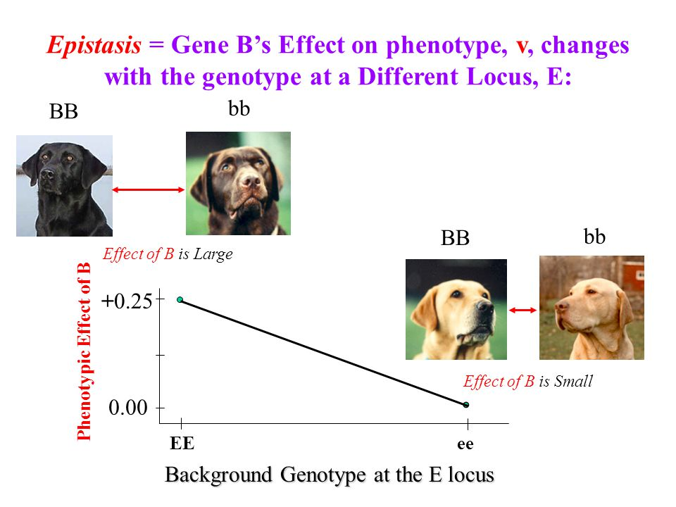 Epistasis = Gene B's Effect on phenotype, v, changes with the genotype at a Different Locus, E: