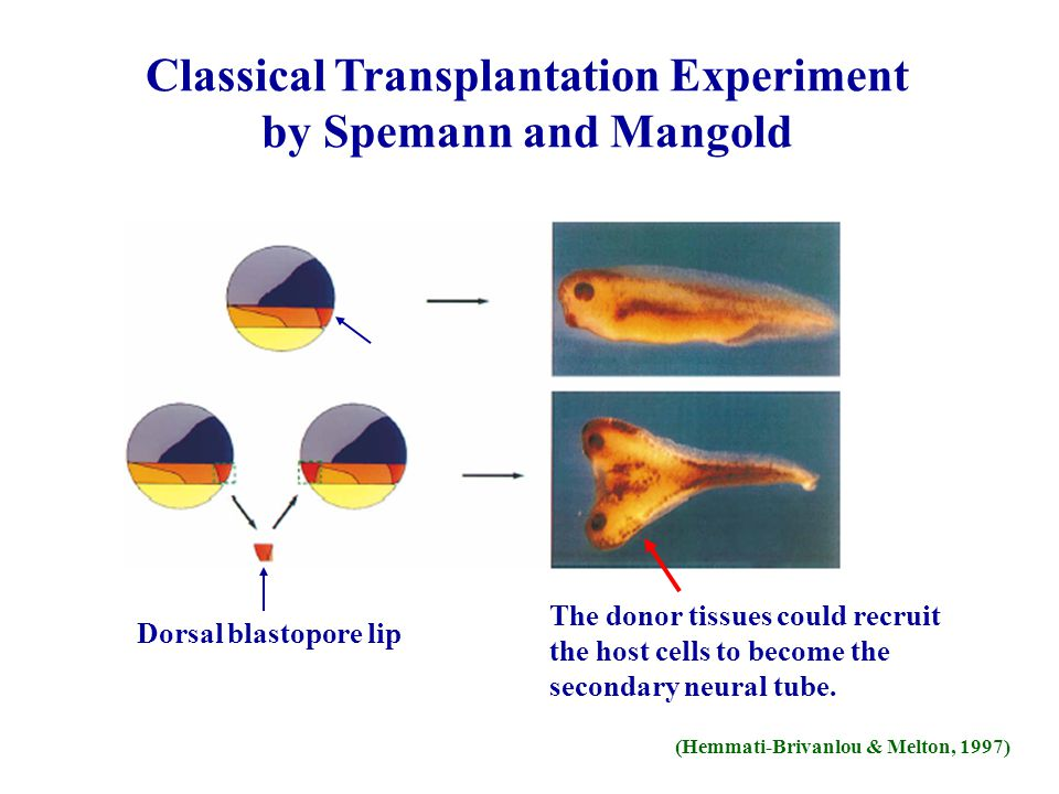 Classical Transplantation Experiment by Spemann and Mangold