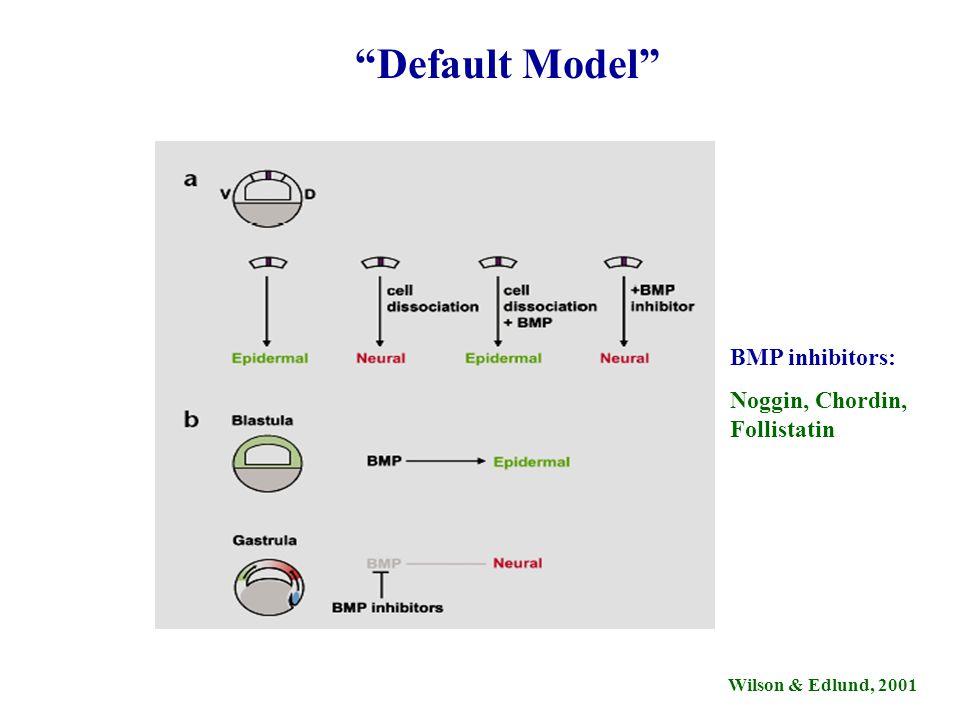 Default Model BMP inhibitors: Noggin, Chordin, Follistatin